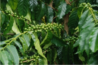 Typica Tree with Green Cherries