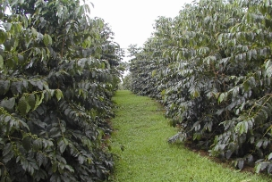 Rows of Typica Trees