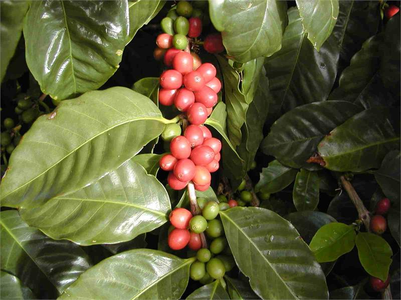 http://hilocoffeemill.com/images/products/detail/CherriesManuel.jpg